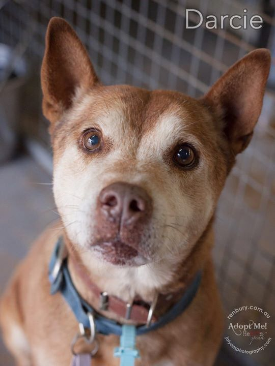 Mr Darcie... how have you not been snapped up? This boy is supposedly 12-13 years of age according to his notes. He arrived at Renbury Farm Animal Shelter a couple of weeks ago with another dog. For reasons unbeknown to me, the owner came and picked up th | by Jo Lyons Photography