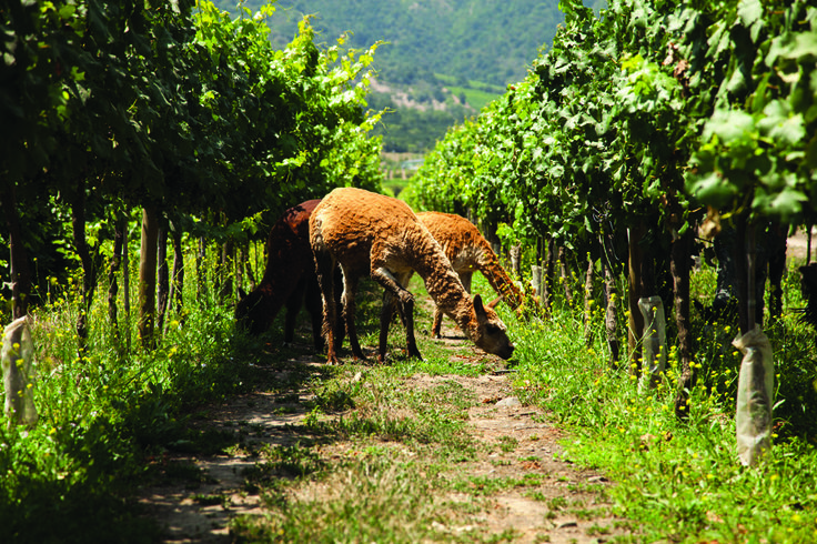 Lamas en los viñedos de Caliterra Estate - Chilean vineyards http://www.caliterra.com/vineyards-winery/caliterra-estate/