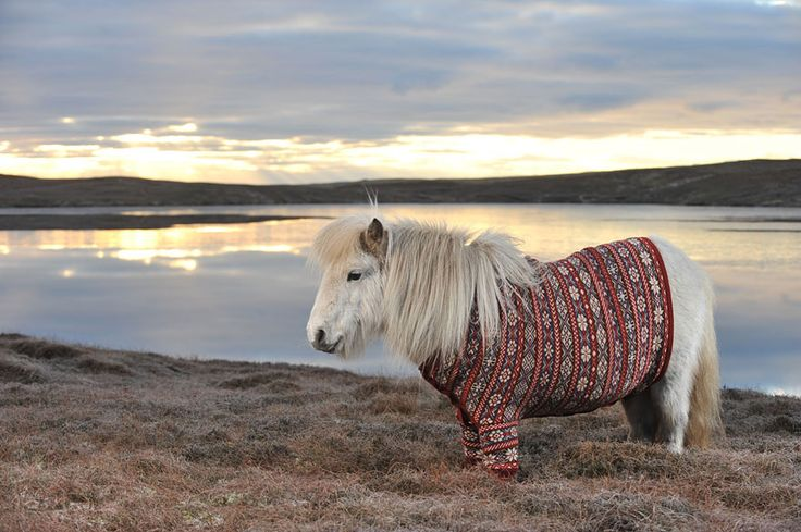 Lovely Shetland Ponies Dressed in Sweaters to Promote Scotland | Bored Panda