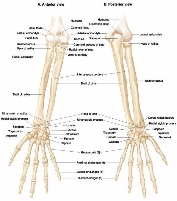 108 best upper limb anatomy images on pinterest | massage therapy, Skeleton
