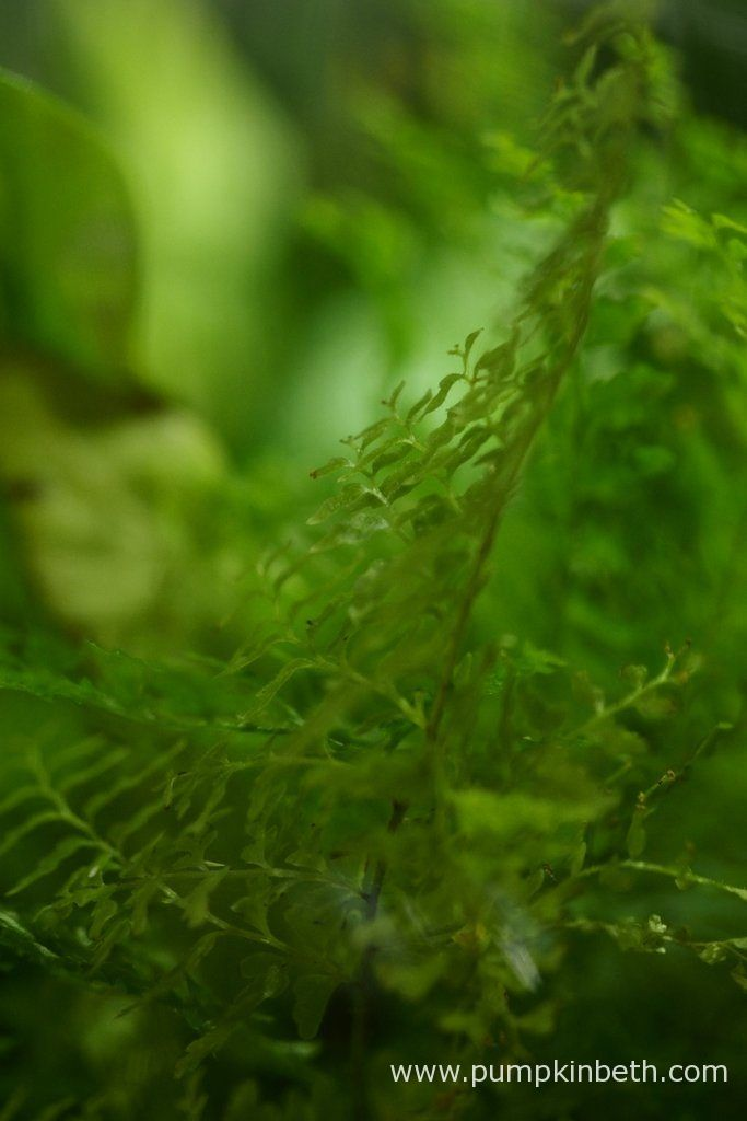 Here's my Nephrolepis exaltata 'Fluffy Ruffles', as pictured inside my BiOrbAir terrarium, on the 10th May 2016.  This is such a super fern, I wish it was more widely available, it's ideal for planting in terrariums and bottle gardens, where is delightful green colour and the intricate tracery of its fronds will delight all that encounter it.