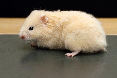 Caramel longhaired Syrian Hamster