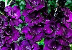 Gladiolus Bulbs For Sale | Buy Gladiolus Flower Bulbs in Bulk