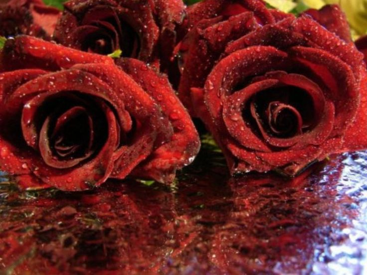 Red Rose HD Wallpapers Backgrounds Wallpaper