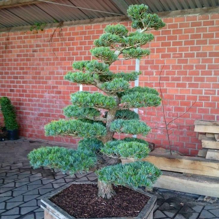 Mädchen-Kiefer / Pinus parviflora Glauca / Niwaki /Bonsai #garten#gardenlove#gartenbonsai#gartenliebe#niwaki#formpflanzen#gardener#baumschulen#fotografie#foto#bonsaitree#bonsaiart#lingen#meppen#