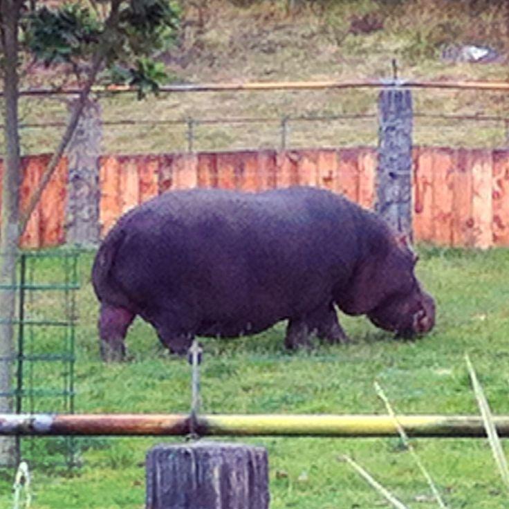 Hipopótamo en el Jaime Duque