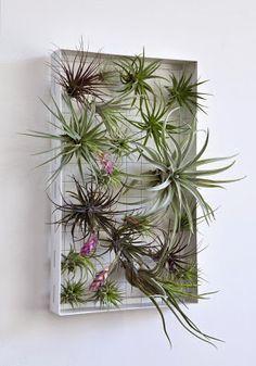 PLANTAS, FLORES Y VELAS ....Para decorar, para disfrutar !!: PLANTAS AÉREAS…                                                                                                                                                                                 Más
