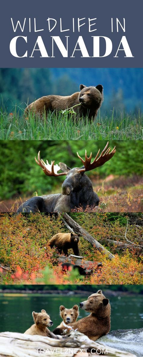 Where to see wildlife in Canada, such as bears, whale, moose and other four-legged creatures.