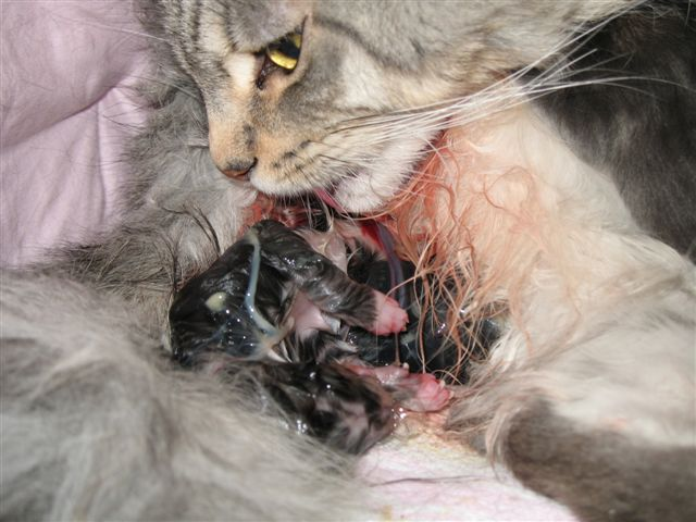 How Long Before Birth Do Cats Nest