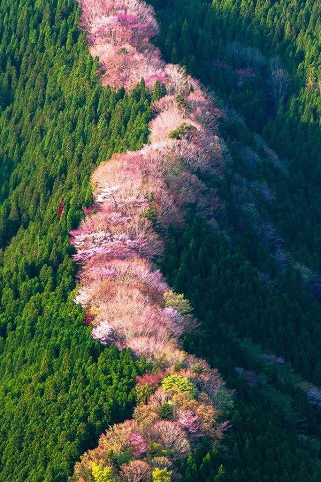 Cherries trees - Nara - Japan ( Grean Renaicense)