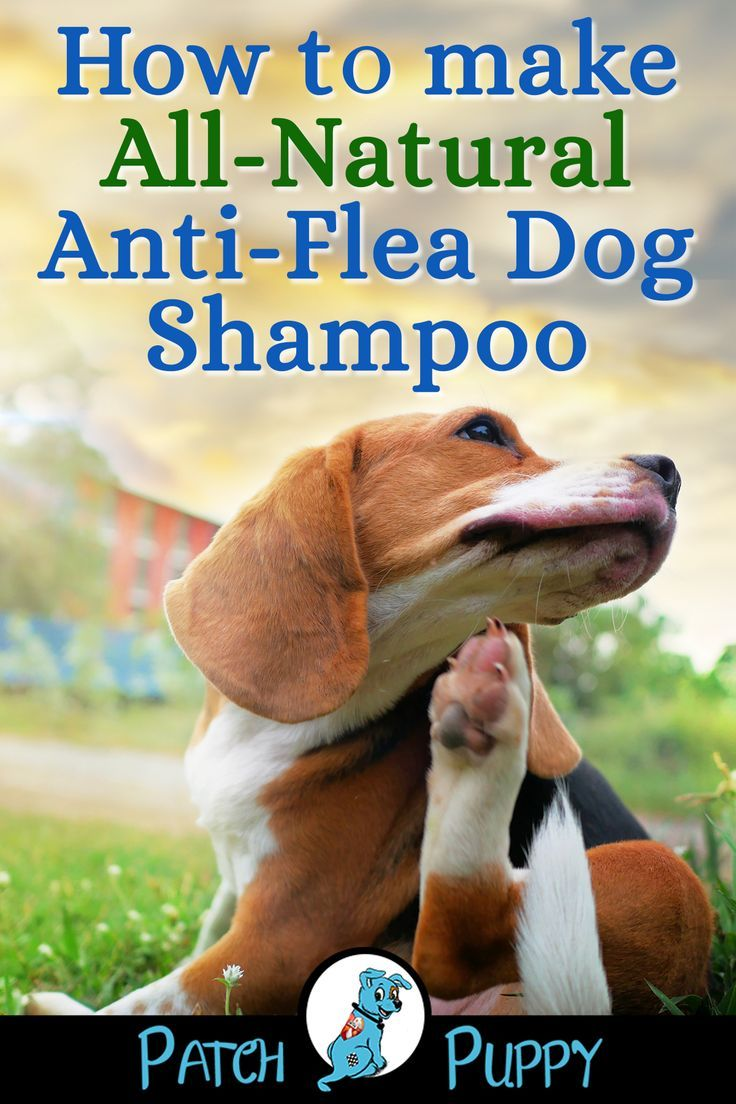 Homemade Dog Flea Shampoo Recipe Step By Step Flea Mitagation With Images Flea Shampoo For Dogs Diy Dog Shampoo