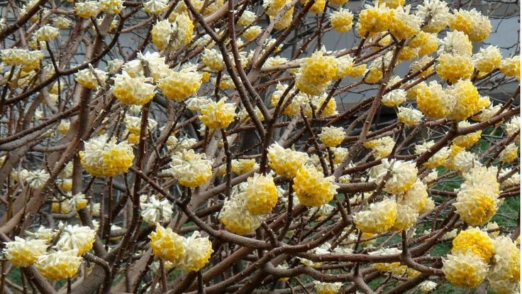 Edgeworthia chrysantha  6 Shrubs That Look Great in January (Z: 8 – 11) | Grow Beautifully