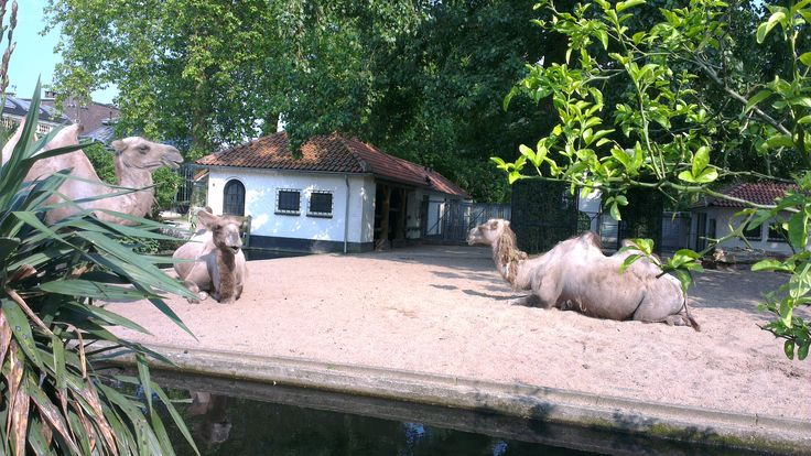 camels in Artis