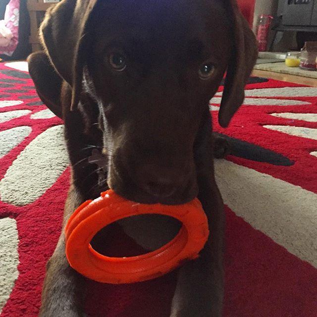 私のおもちゃ取るなって顔してる😂It's my toy!🐶 #Flo #chocolatelab #dogsofinsta #labsofinstagram #puppiesofinstagram #8months #チョコレートラブラドール #ラブラドール #8ヶ月 #愛犬