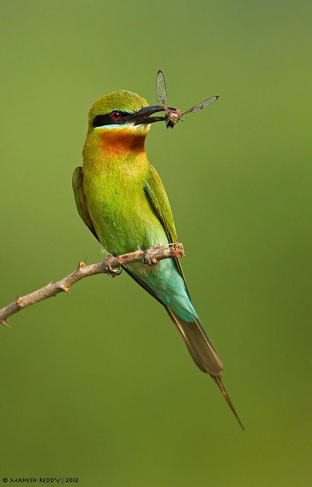 Blue Tailed Beeater by Mahesh Reddy on 500px