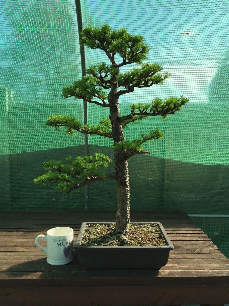 Japanese Larch Bonsai Stunning Tree Reduced Massive Savings in Garden &…
