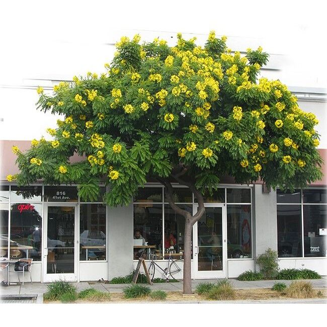 11 best drought tolerant trees and shrubs images on for Fast growing drought tolerant trees