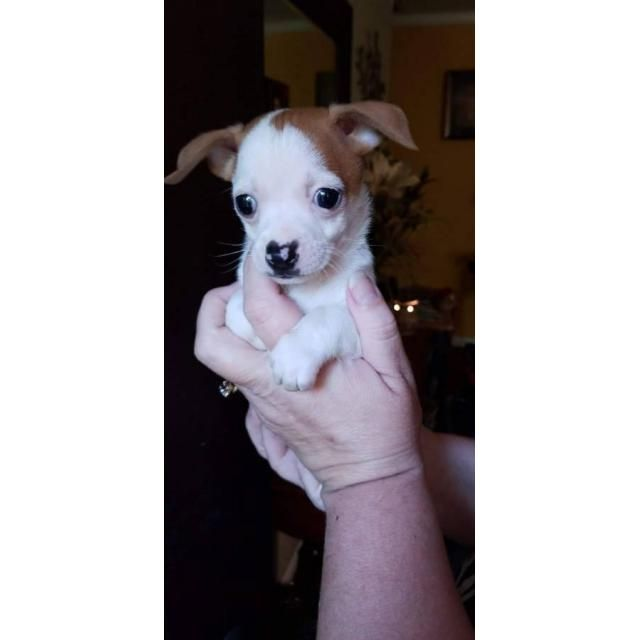 Chihuahua Asheville For Sale Is Adorable Tiny 8 Week Old