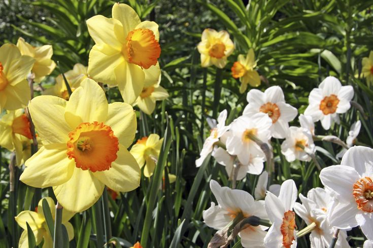 You really can't go wrong when planting daffodil bulbs, but the sheer variety can get overwhelming. Learn more about the different types of daffodils and how to tell them apart in this article.