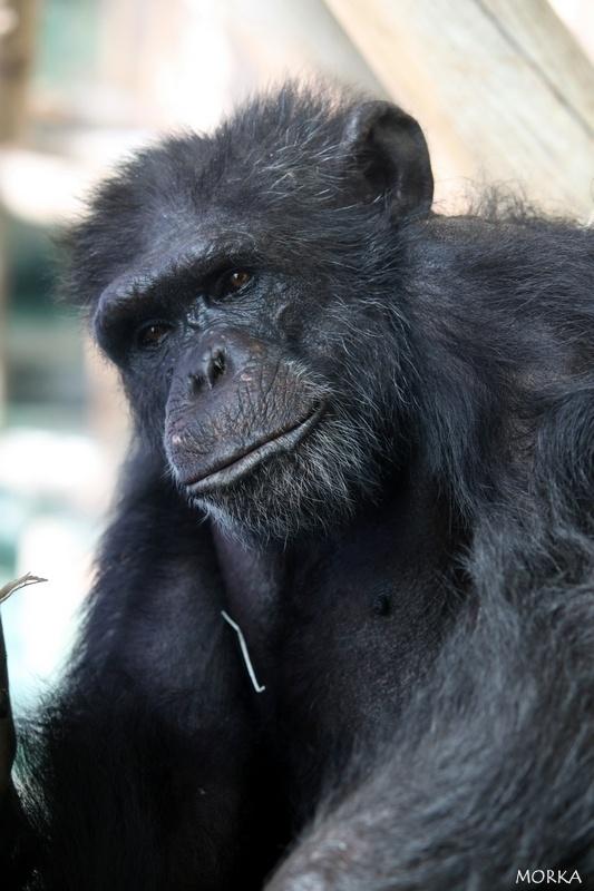 Chimpanzee, Beauval zoo, France.  http://www.morka.fr
