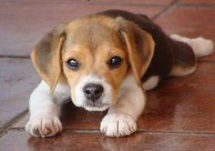 Beagle Puppy ready to pounce