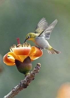 Hummingbird Beija-flor O beija-flor, também conhecido como colibri, cuitelo, chupa-flor, pica-flor, chupa-mel, binga, guanambi, guinumbi, guainumbi, guanumbi e mainoĩ, é uma ave da família Trochilidae e inclui 108 gêneros. Existem 322 espécies conhecidas. Wikipédia Classificação: Família Classificação superior: Apodiformes Classificações inferiores: Trochilinae, Stellula, Loddigesia, Phaethornithinae, Abeillia