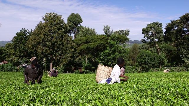 Many smallholder farmers are feeling the effects of climate change. Rising temperatures and changing rainfall patterns, such as flash floods and droughts, are having an impact on crops and reducing yields. Find out how Fairtrade is supporting tea farmers in Kenya to adapt to climate change.