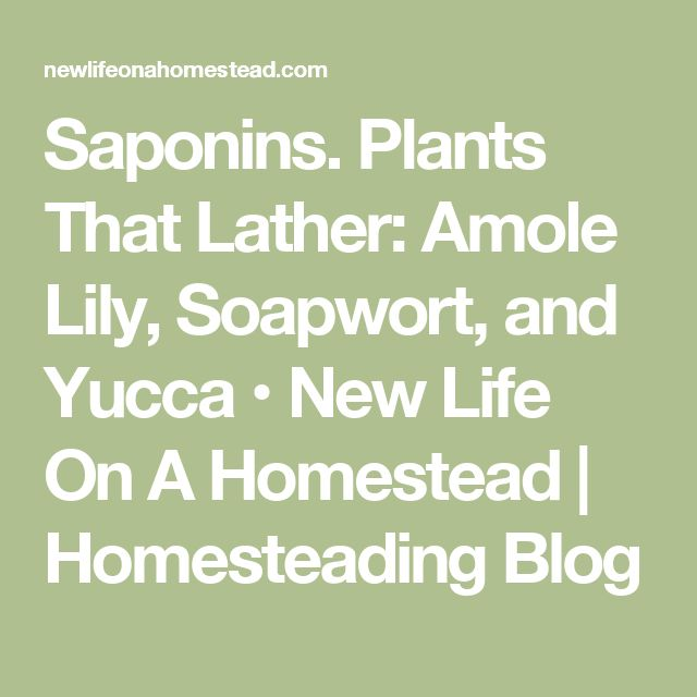 Saponins. Plants That Lather: Amole Lily, Soapwort, and Yucca • New Life On A Homestead | Homesteading Blog
