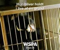 Bear bile extraction - where large bears are kept in cages not big enough to turn around it, and have bile extracted from their stomachs on a daily basis, used as an ingredient for chinese medicine. Bears can suffer this tortuous existence for up to 20 years or more.