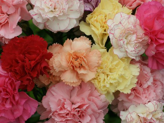 0.2g (approx. 100) carnation chabaud seeds DIANTHUS CARYOPHYLLUS CHABAUD stunning mixed colors