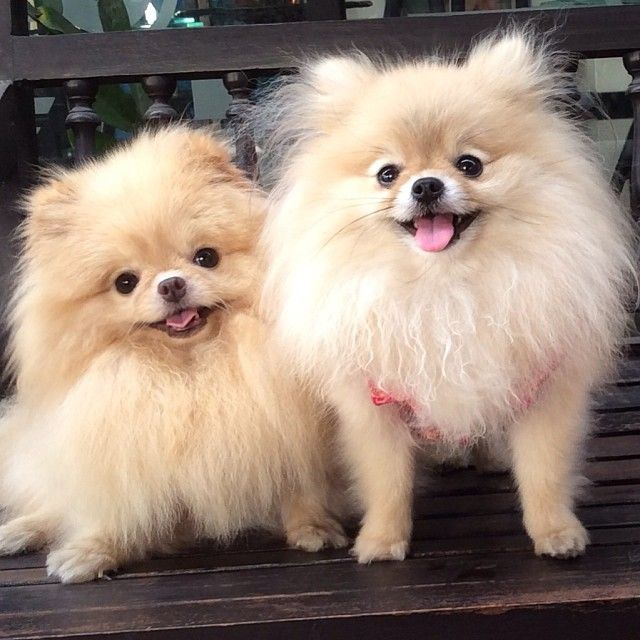 pomeranian chow 17 best images about furry friends on pinterest chow 7660