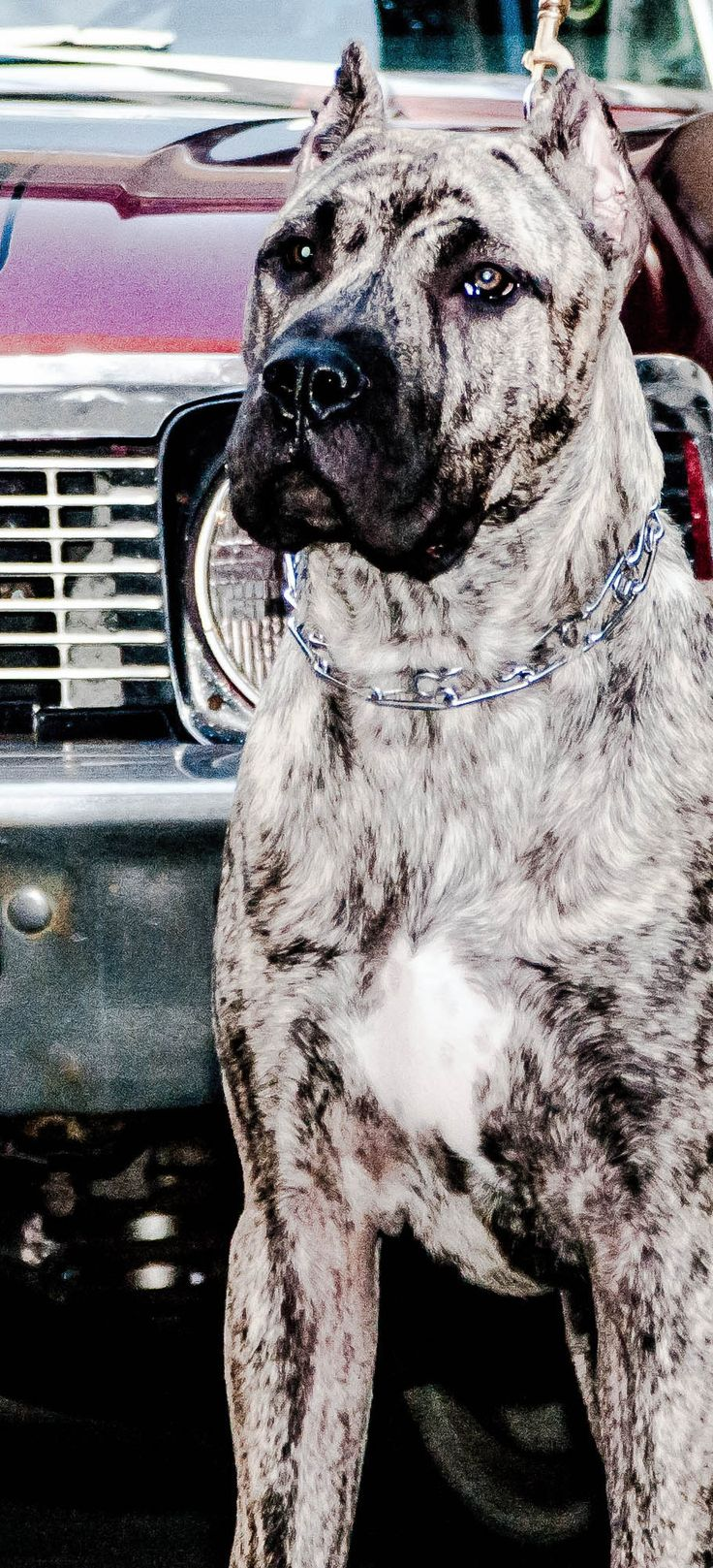 Mastiff dog breed information pictures characteristics amp facts -  Information Pictures Characteristics Amp Facts Best 25 Mastiff Dog Breeds Ideas On Download