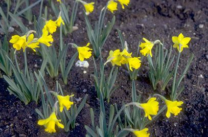 Narcissus minor 'Little Gem' | Height 0.15m | Spread 0.05m