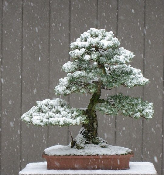 White Pine in the Snow.