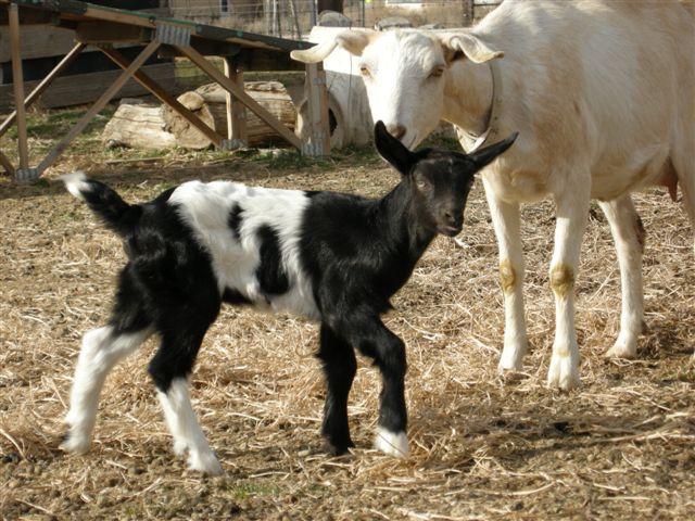 Country ~♥~ Life ◦✩☼◦ Goatu0027s At The Gate: Goatu0027s 101