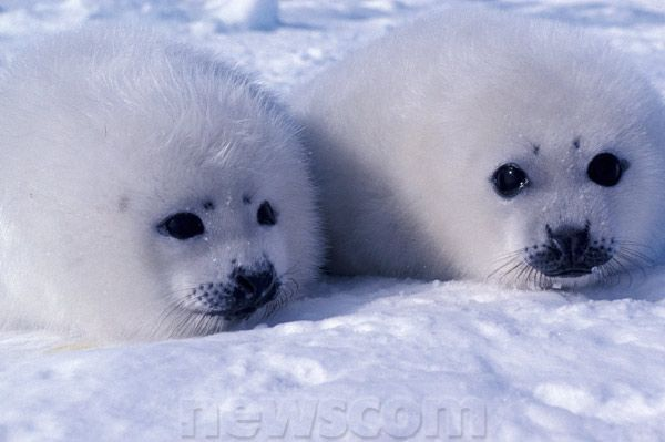 Baby Harp Seal Pup | Harp seal pups about a week old; Gulf ...