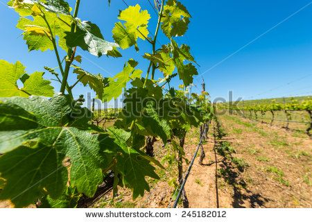 http://www.shutterstock.com/pic-245182012 Constantia Grape Wineland Countryside Landscape Background Of Hills With Mountain Backdrop In Cape Town South Africa Stock Photo 245182012 : Shutterstock