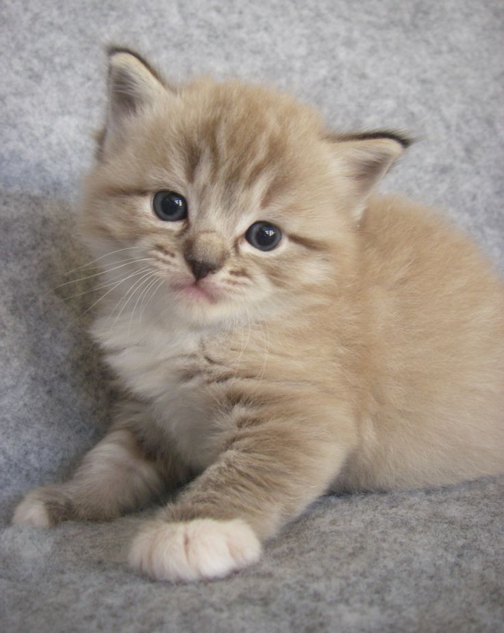 ragdoll kitten pics Google Search Dolls 4 Big Girls