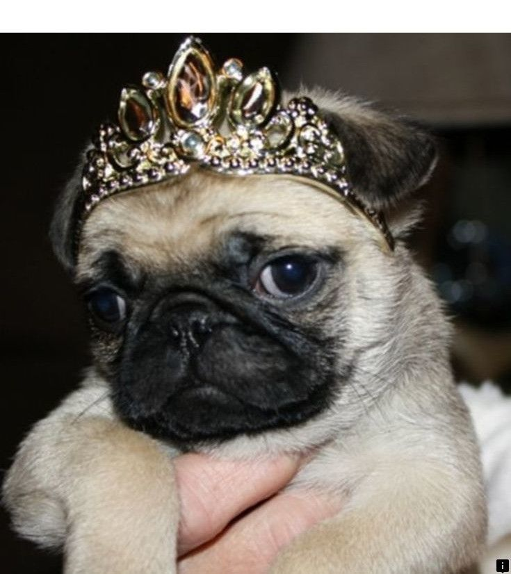 Discover More About Pugs For Adoption Near Me Click The Link To