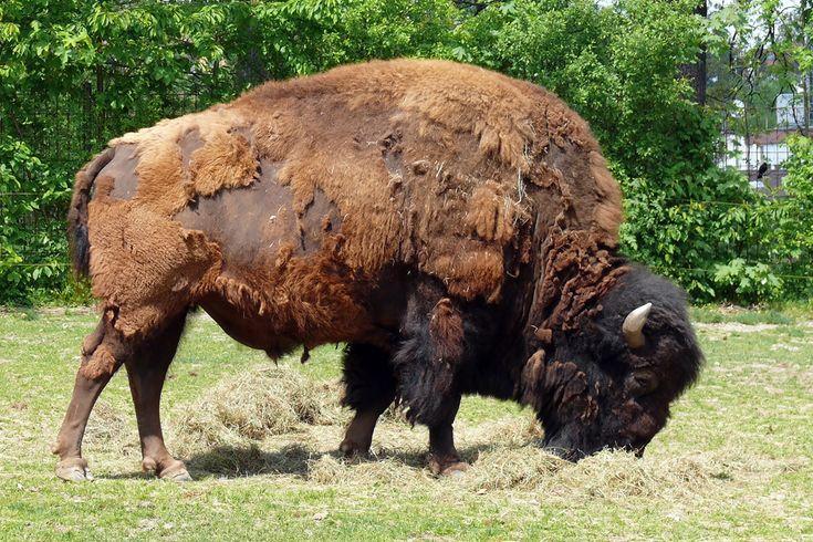 Bison   Bison, Wilhelma 06.05.2008 - Tier-fotos.eu