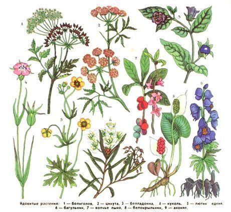 Ядовитые-растения.jpg (461×424)