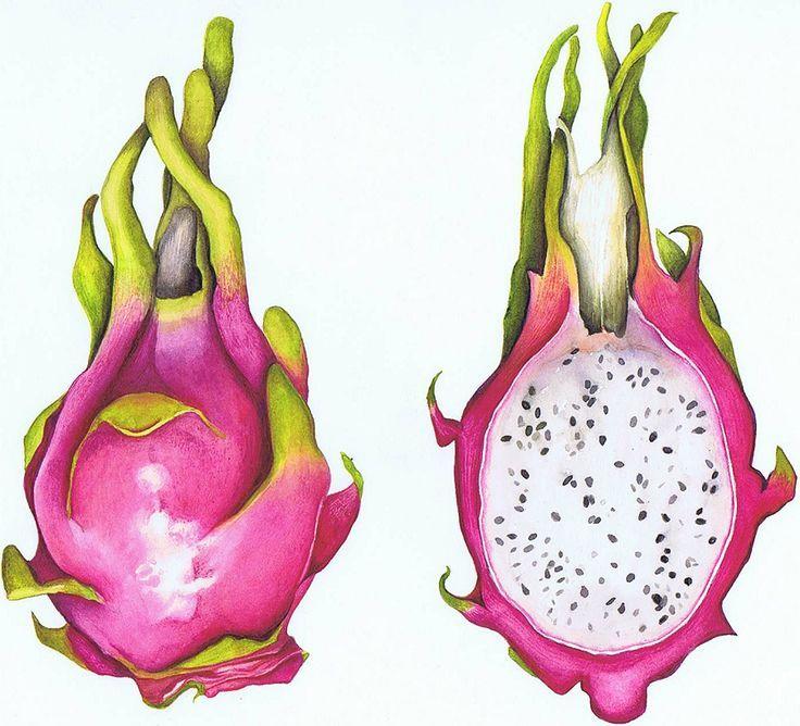 dragon fruit drawing - Google Search