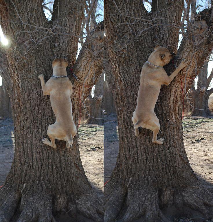 Presidio's Formentino Cane Corso Italian Mastiff Fulmino climbing a tree!