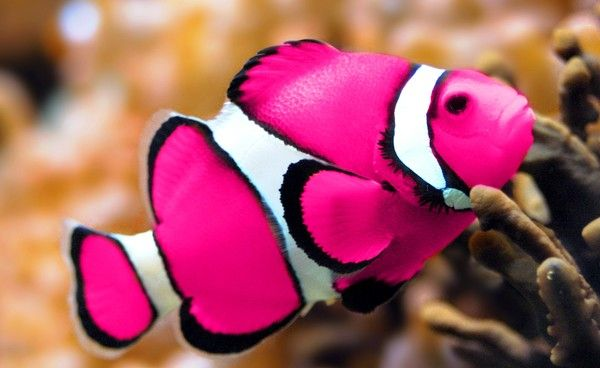 clown fish   Not to mention I found out that Clownfish come in this kickbutt pink ...