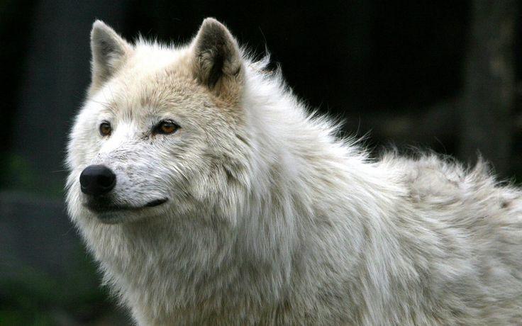 Beautiful Brown Wolf | Milhares de imagens em todas as resoluções.