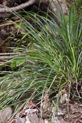 Carex forsteri