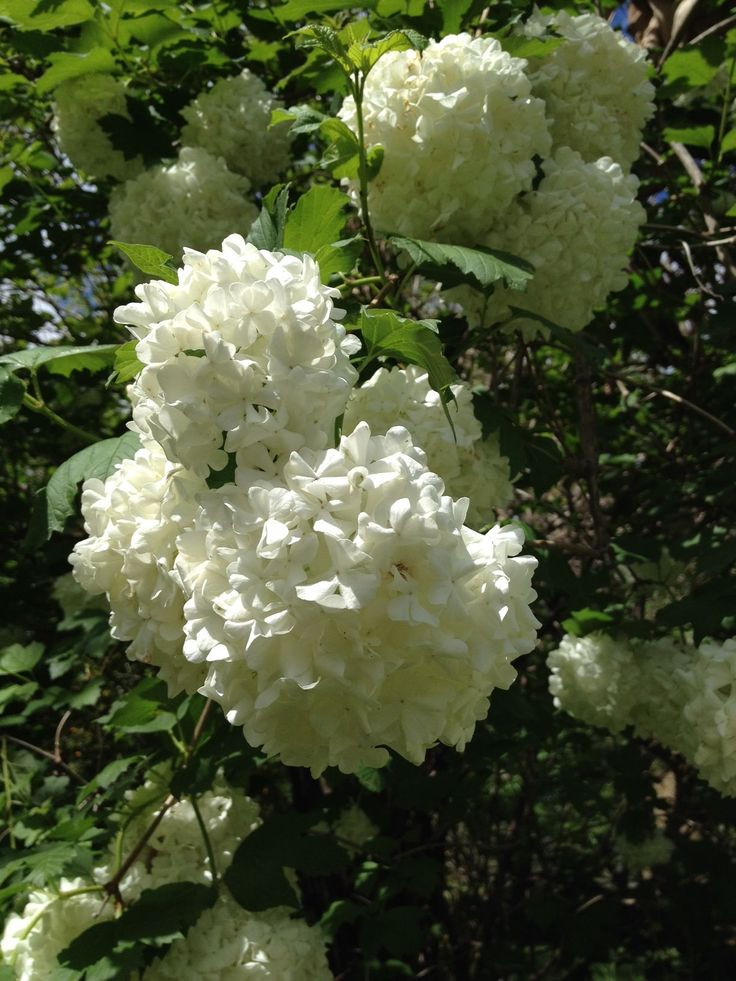 Melbourne's recent hail brought a snowball tree to Williamstown Botanic Gardens