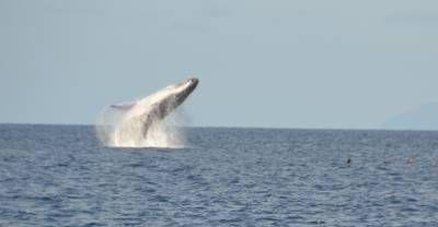 """Ik zei nog zo : """"Geen Bommetje"""" Bultrug walvissen bij Tonga"""