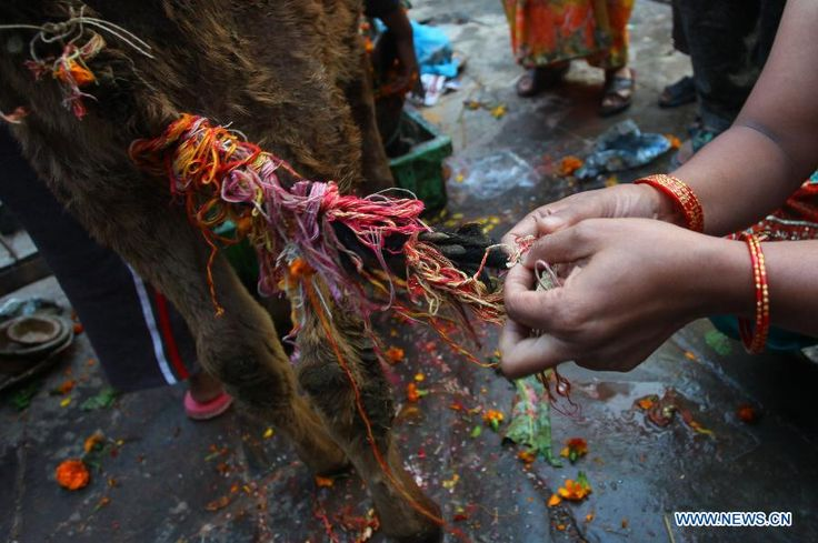 A Hindu devotee ties a sacred thread on the tail of a cow during a religious ceremony of cow festival, the third day of Tihar festival, in Kathmandu