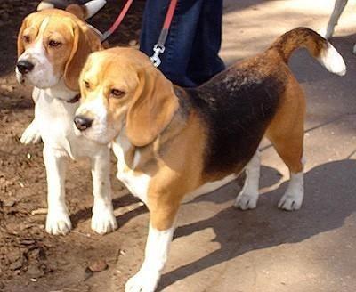 Beagle: Stuff, Cupcake Recipes, Pet, Beagles Animal, Cupcakes Recipes, Dogs Beagles, Perfect Cupcakes, Animal Pinterest, Beagles 3